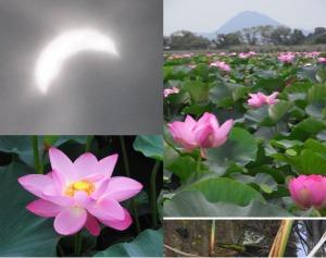 日食と蓮と近江富士とウシガエル